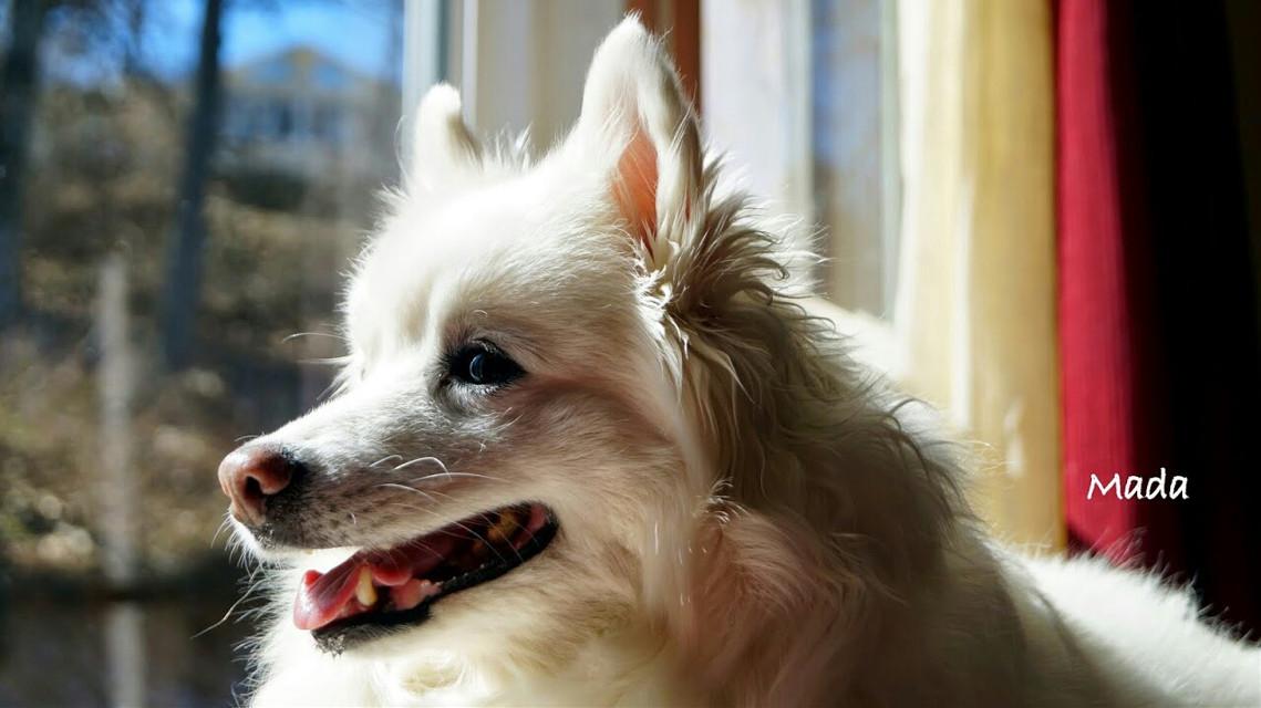 #oldphoto #photography #petsandanimals #summer #beautiful #followme #cute #white #dog #americaneskimo