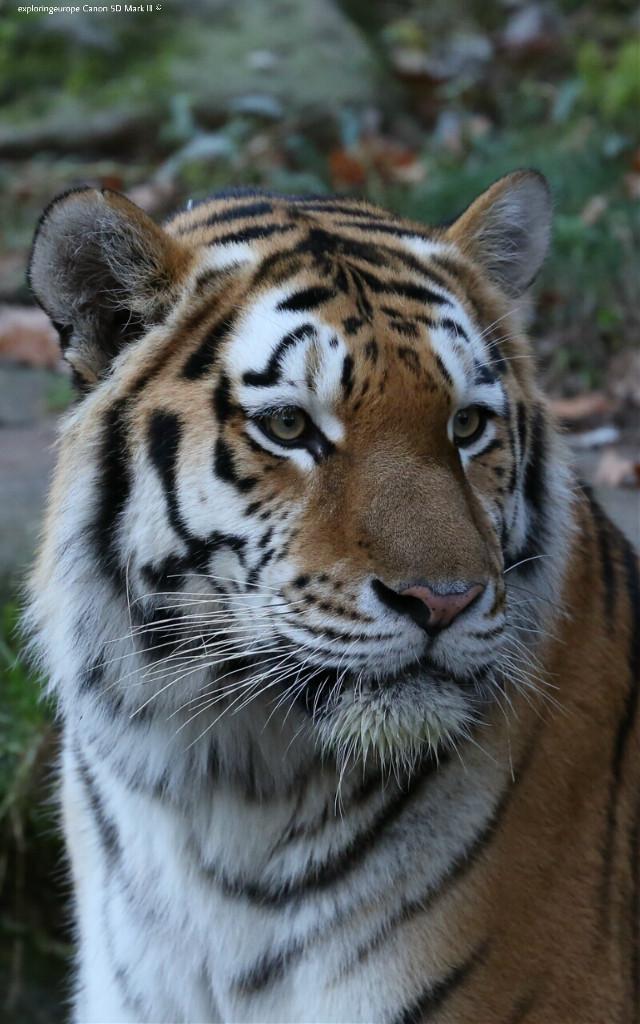 So beautiful Cat😻😻  #tiger #animals #autumn #closeup #photography