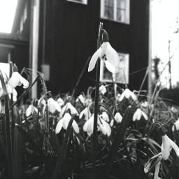 flower sweden spring nature beautiful