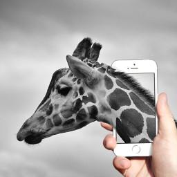 wapoutofframe giraffe